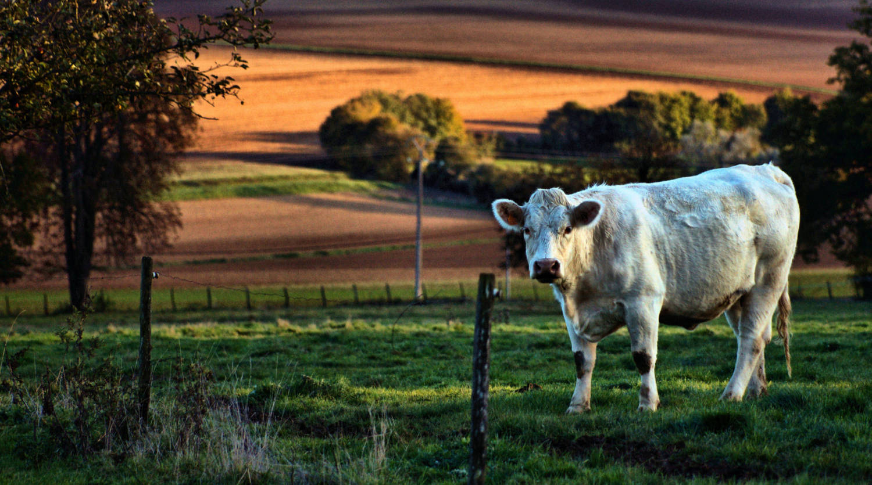 puisaye-forterre-vache